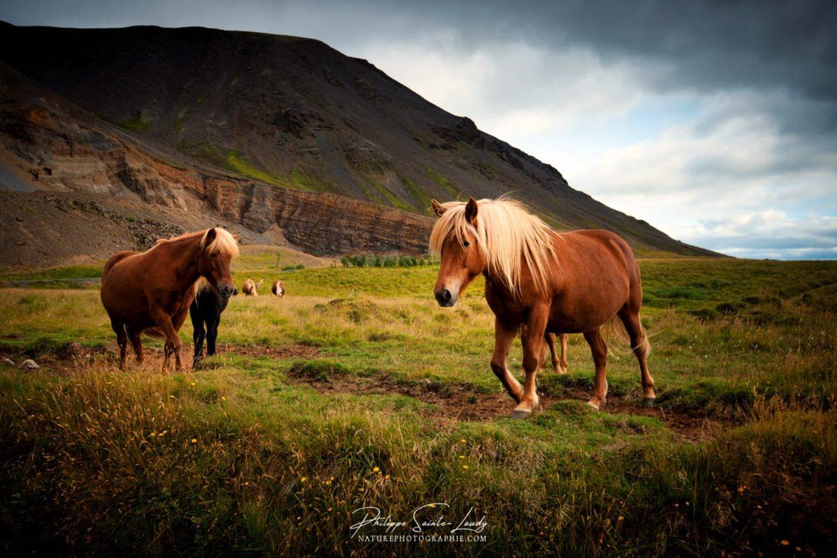 Chevaux en liberté en Islande