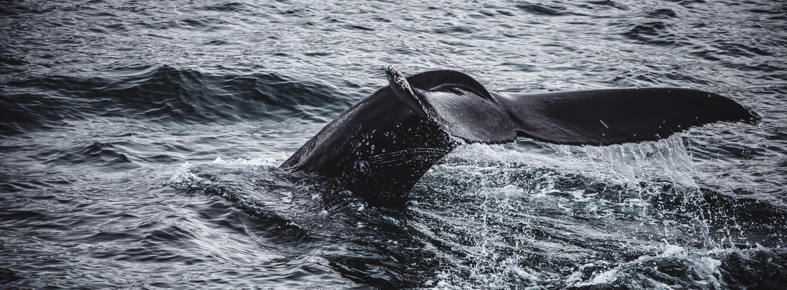 Queue de baleine en Islande