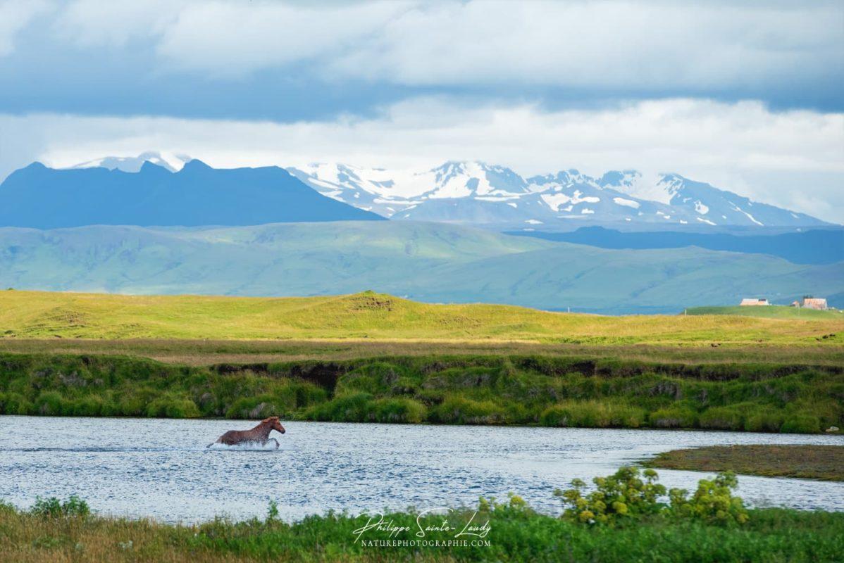 Cheval dans une rivière en Islande