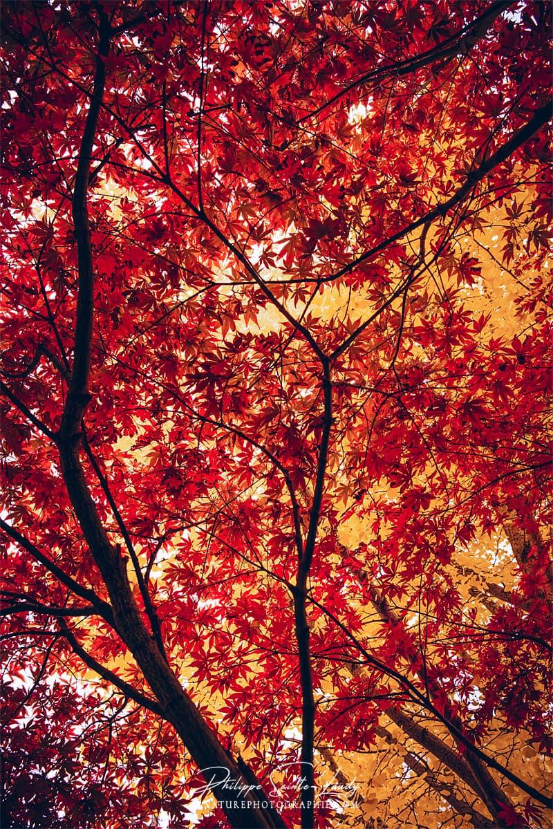 Feuillage rouge d'un érable en automne