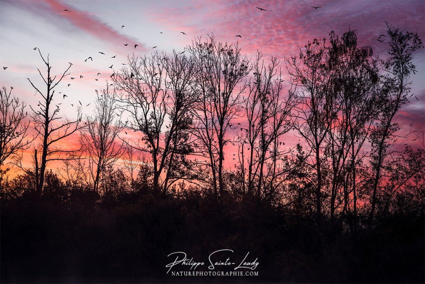 Vols d'oiseaux entre couchers de soleil et rangée d'arbres