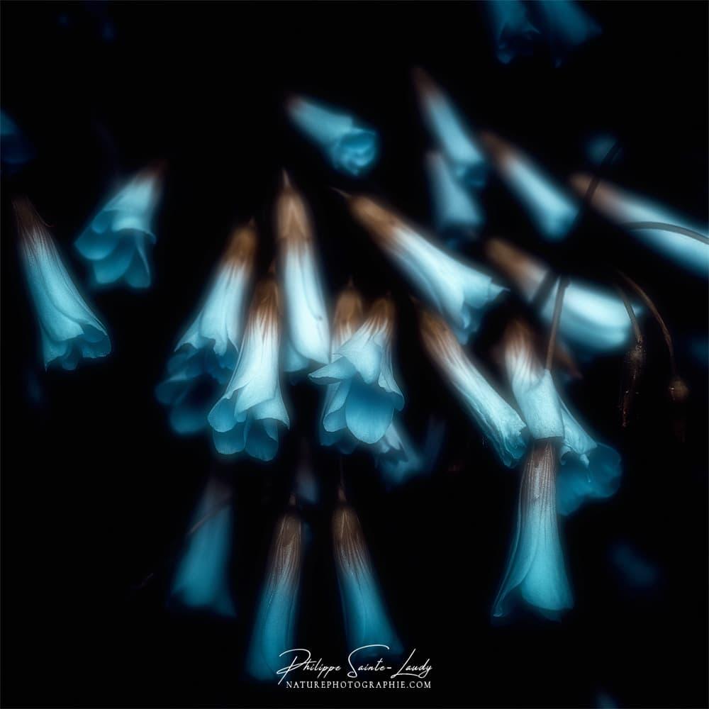 Fleurs bleues avec un effet Orton