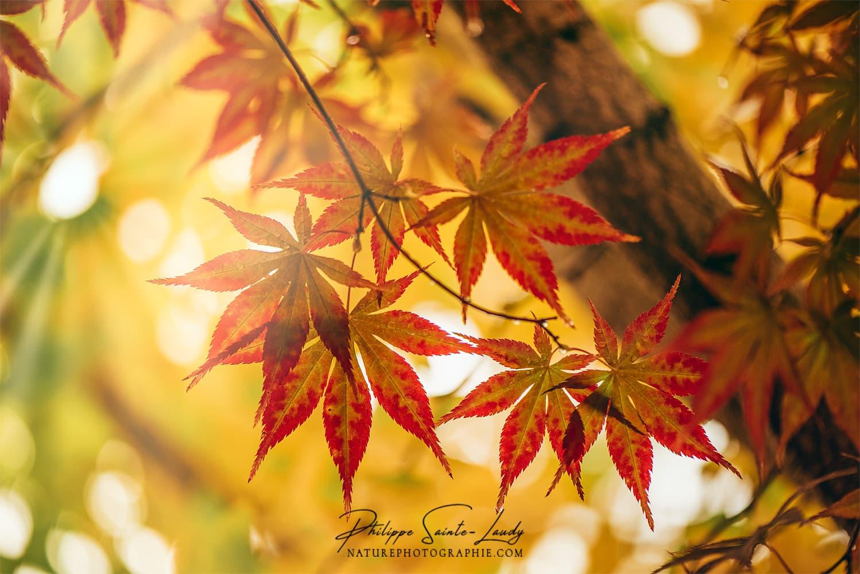Érable en automne
