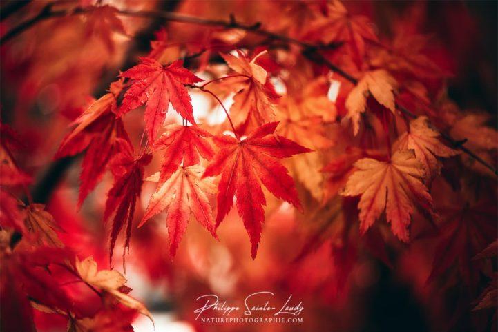 Le rouge d'un érable en automne