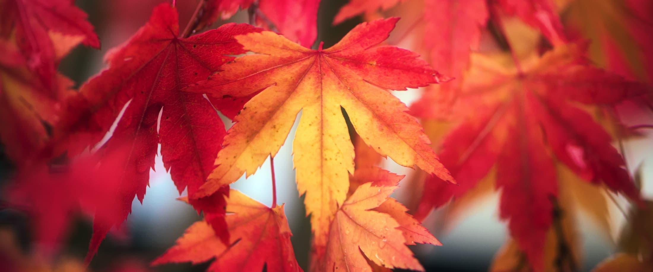 Erable rouge et jaune en automne