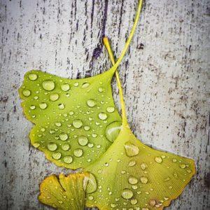 Feuilles de ginkgo sous la pluie