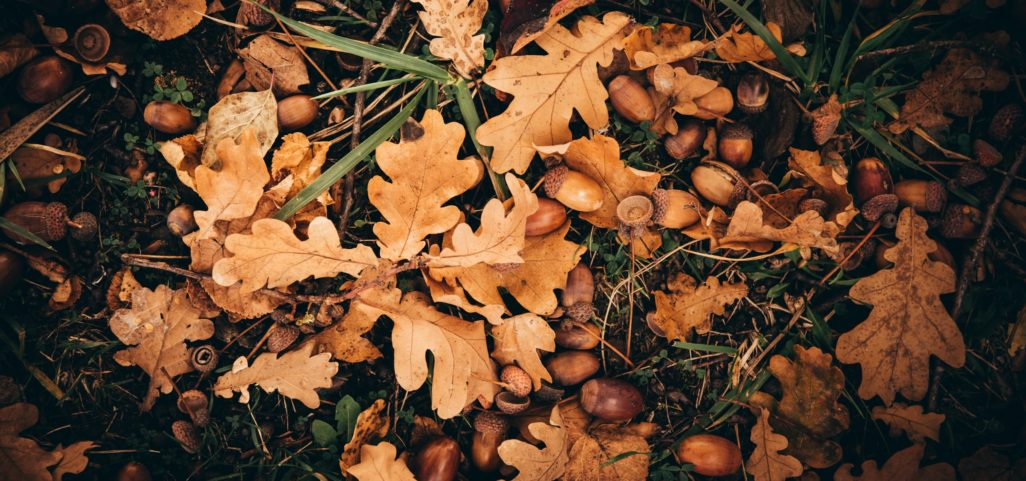 Glands et feuilles de chênes au sol en forêt