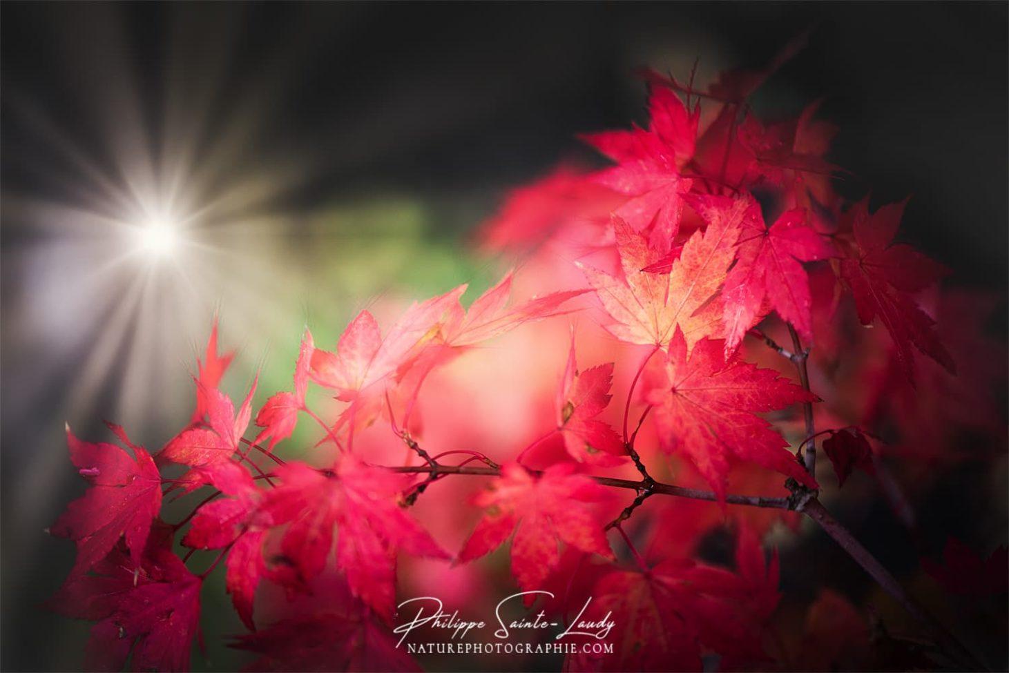 Rayons de soleil sur un érable rouge