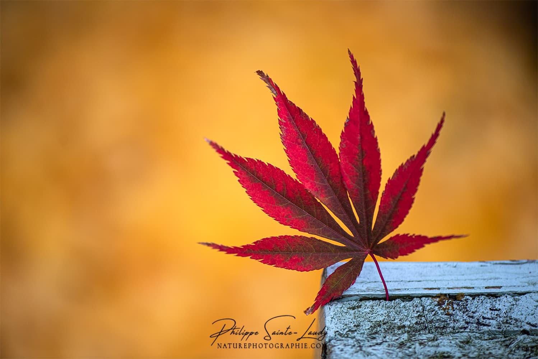 Gros plan sur une feuille d'érable en automne