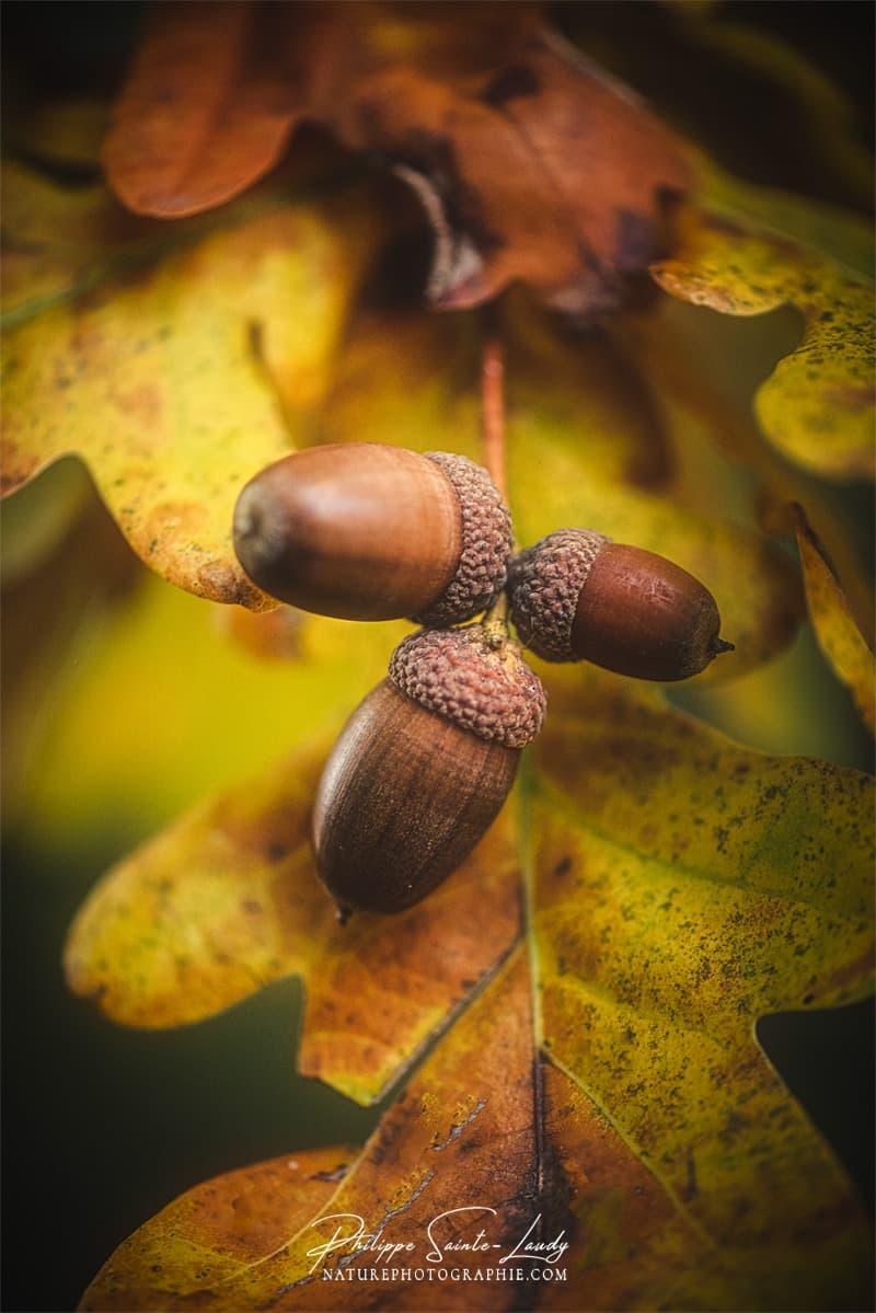 Des glands en automne