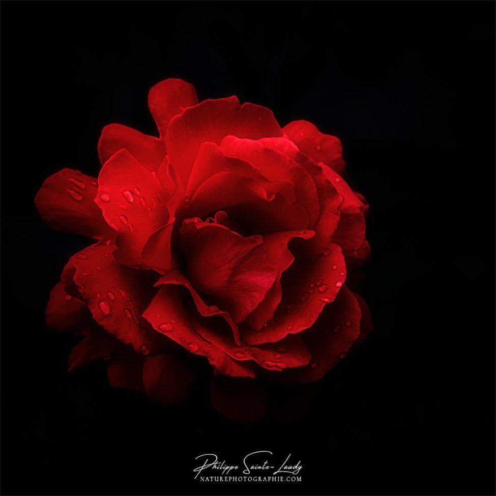 Rose rouge après la pluie