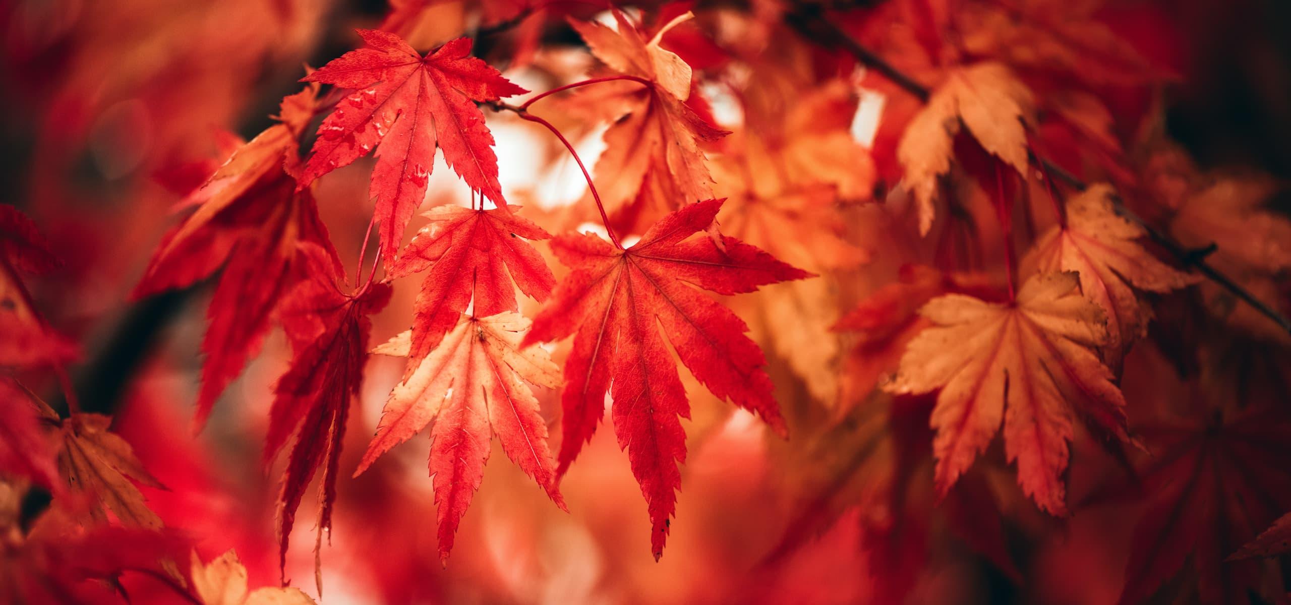 Erable rouge en octobre