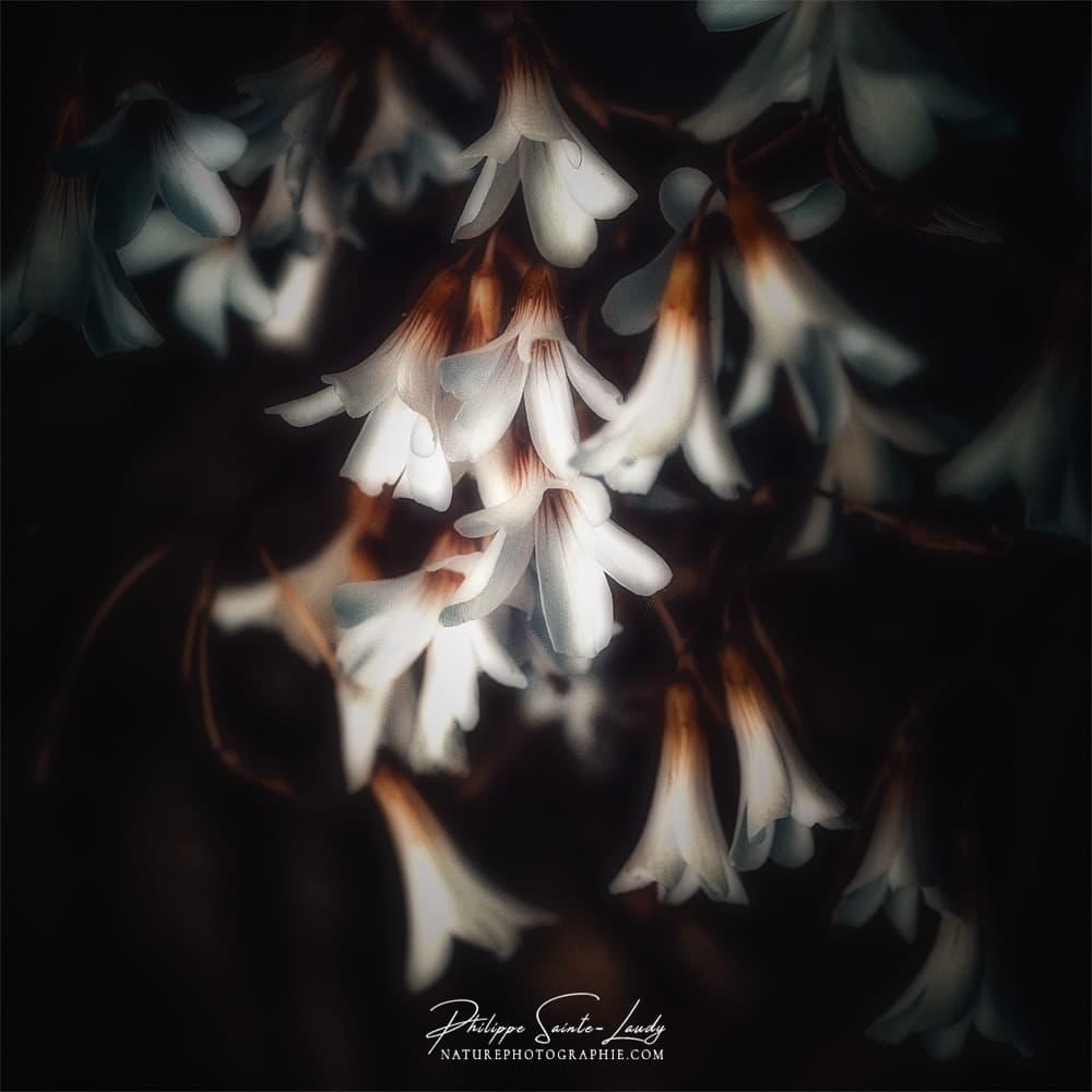 Fleurs blanches sur fond noir