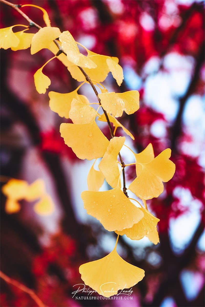 Branche de ginkgo avec des feuilles jaunes