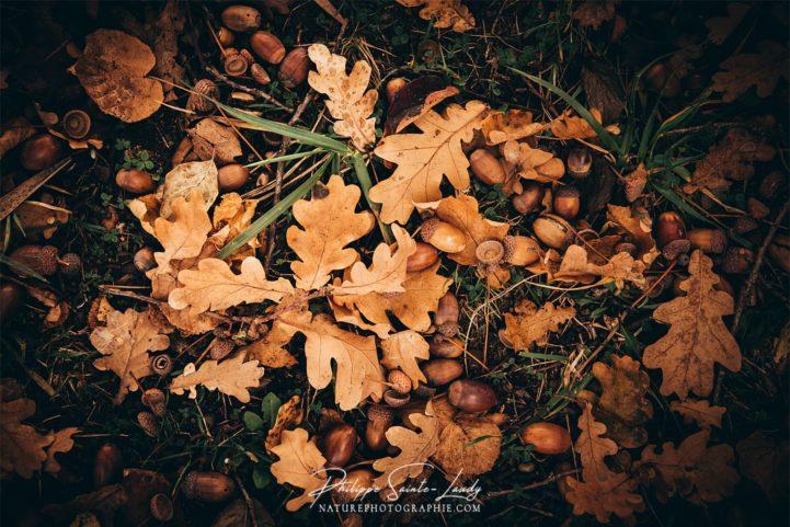 Glands au pied d'un chêne