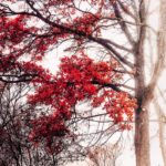 Arbre rouge en automne