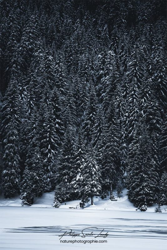 Crépuscule sur une forêt de sapins