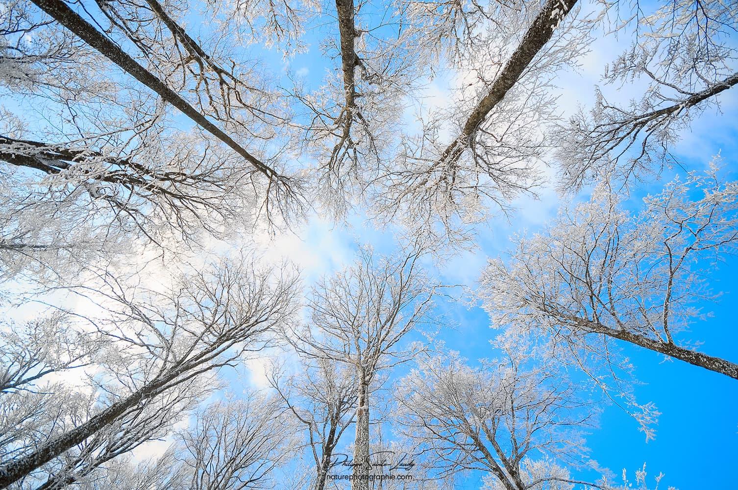Arbres gelés en contre-plongé sur fond de ciel bleu