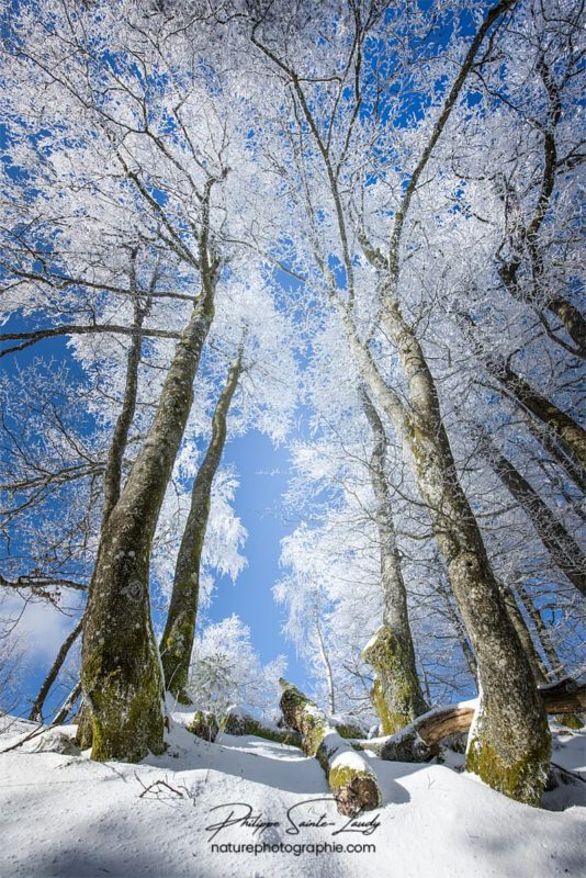 Cimes des arbres enneigés