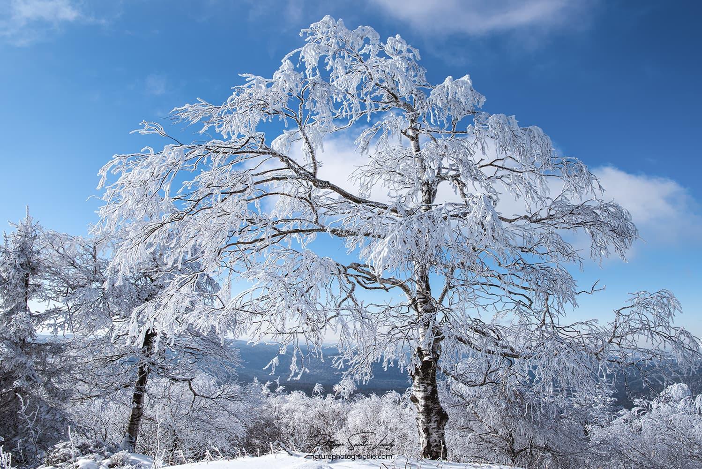 Un arbre seul recouvert de neige