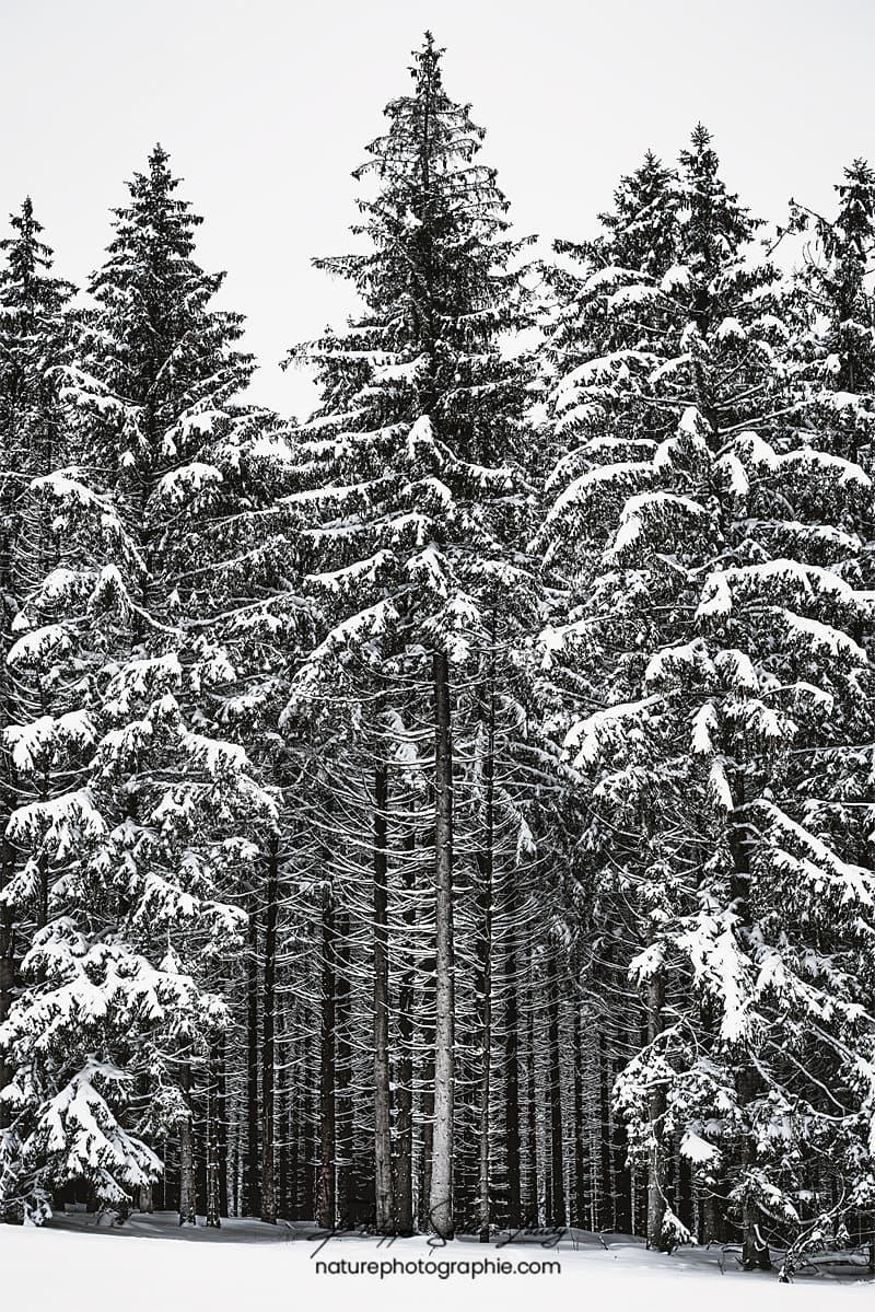Forêt de sapins en hiver
