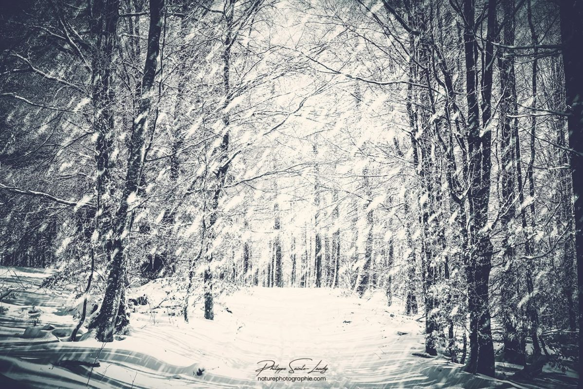 Forêt sous la neige dans les Vosges