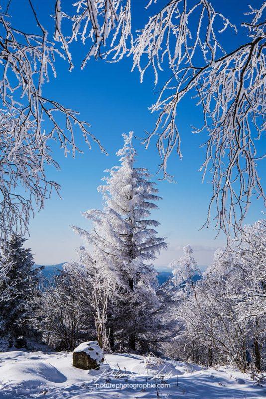 Sapin enneigé et ciel bleu