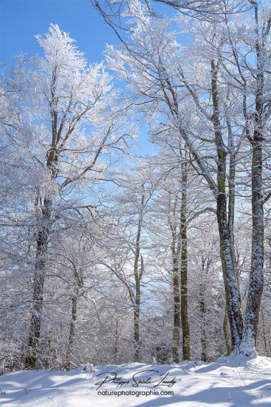 Forêt blanche en hiver