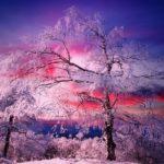 Un arbre au coucher du soleil au col du Donon