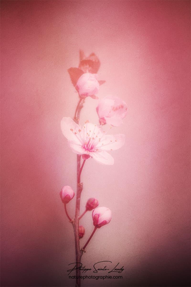 Texture sur fleur de cerisier