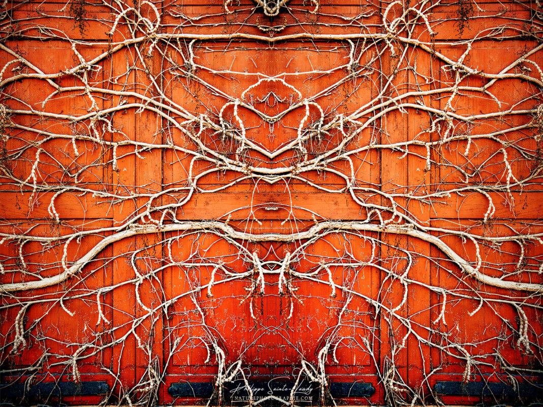 Effet miroir sur un volet recouvert de racines de lierre