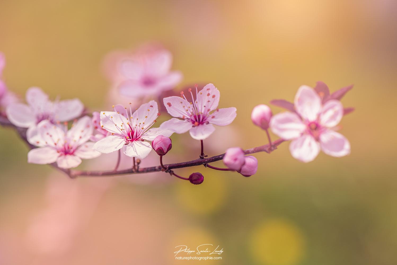 Printemps sur cerisier