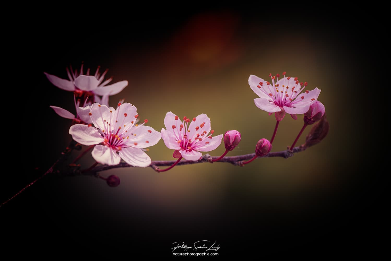 Petites fleurs de cerisier