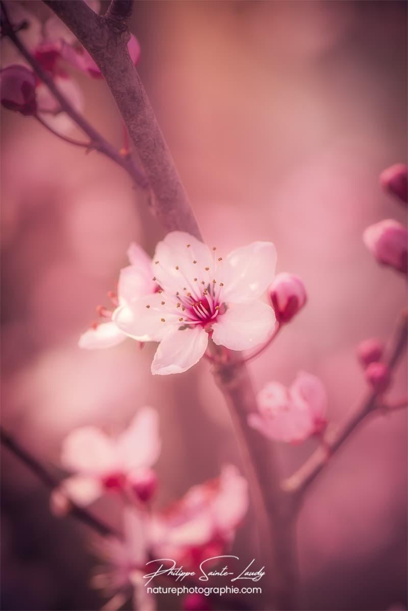 Orton sur fleur de cerisier