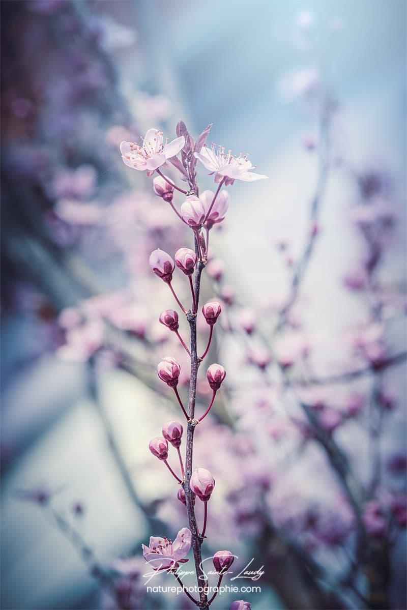 Branche de cerisier au printemps