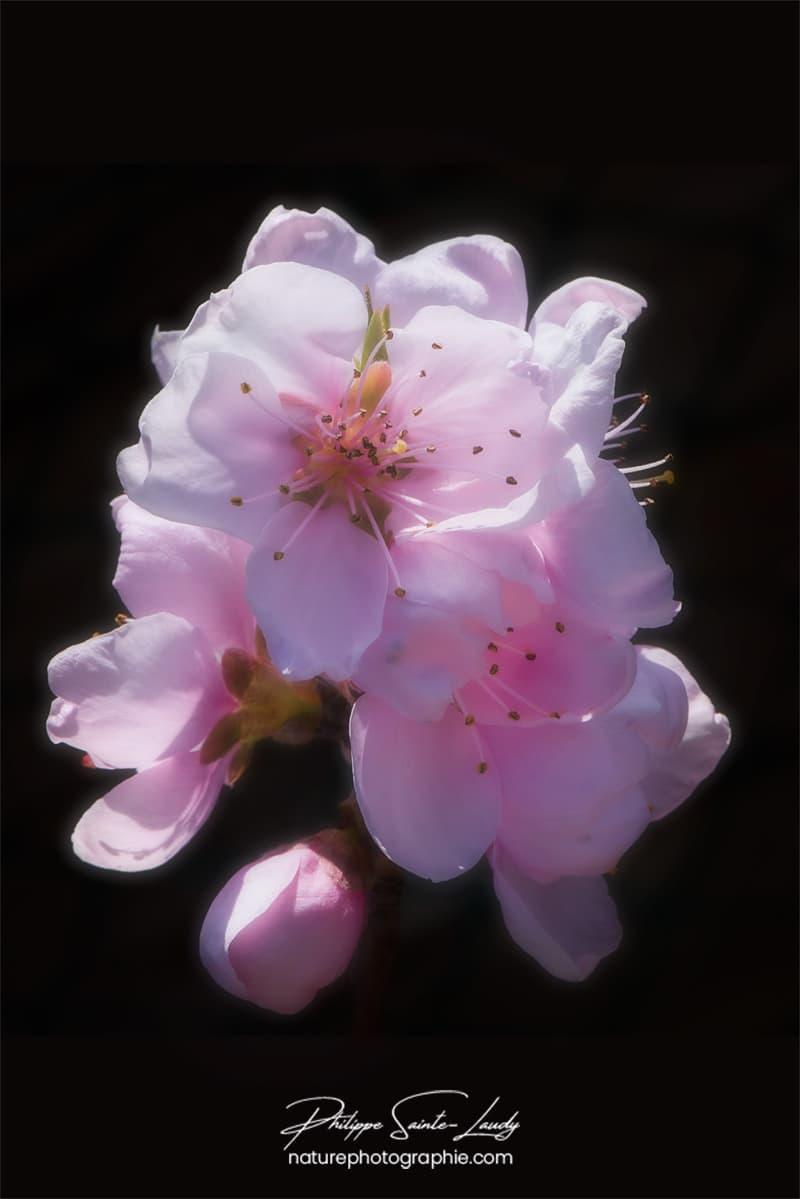 Fleur douce du printemps