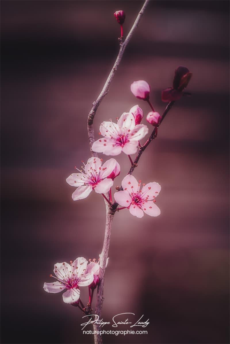Petite branche de cerisier en fleurs