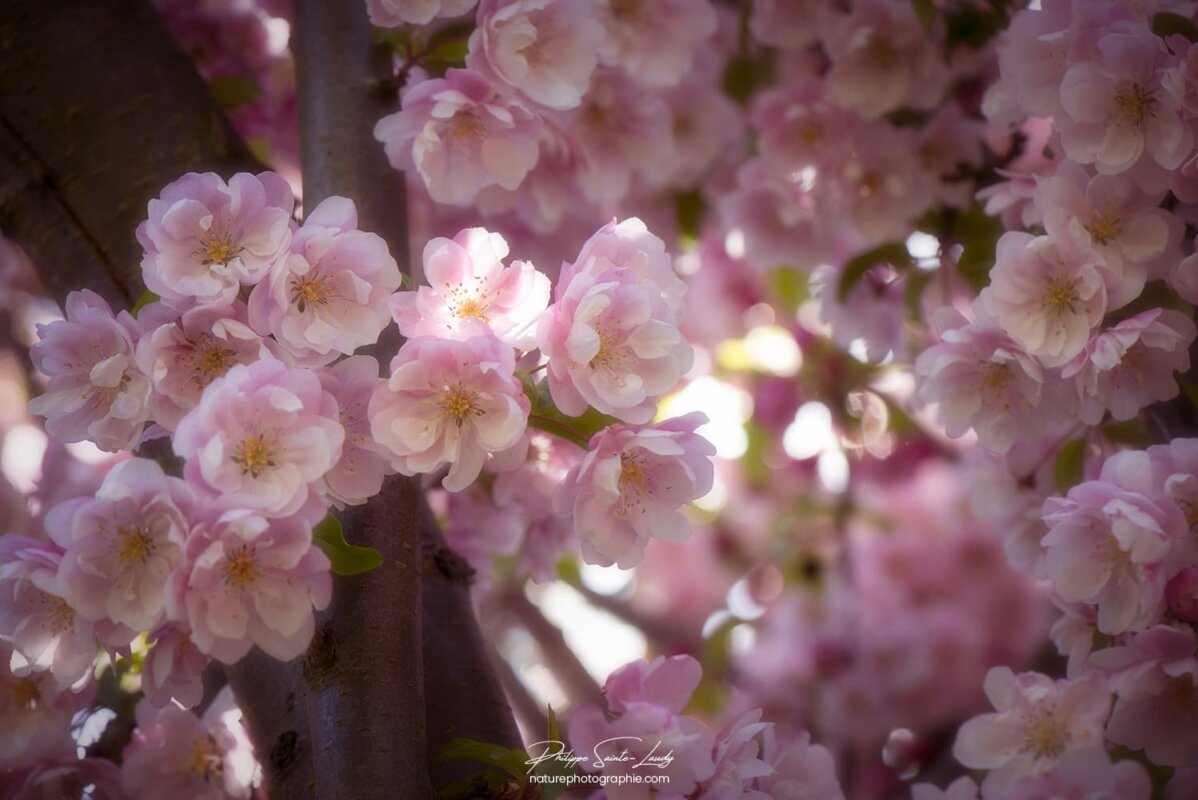 Douceur des fleurs