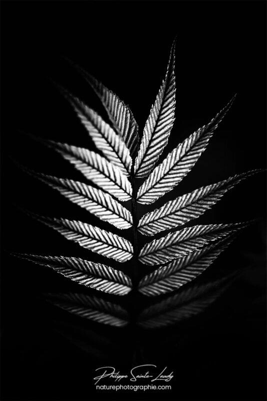 Fougère en noir et blanc