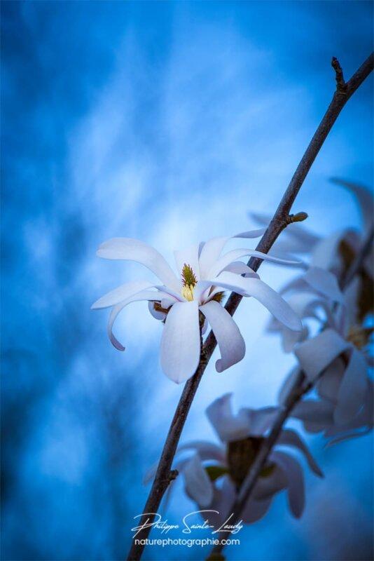 Magnolias sur fond bleu