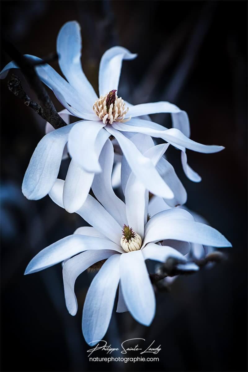 Couple de magnolias