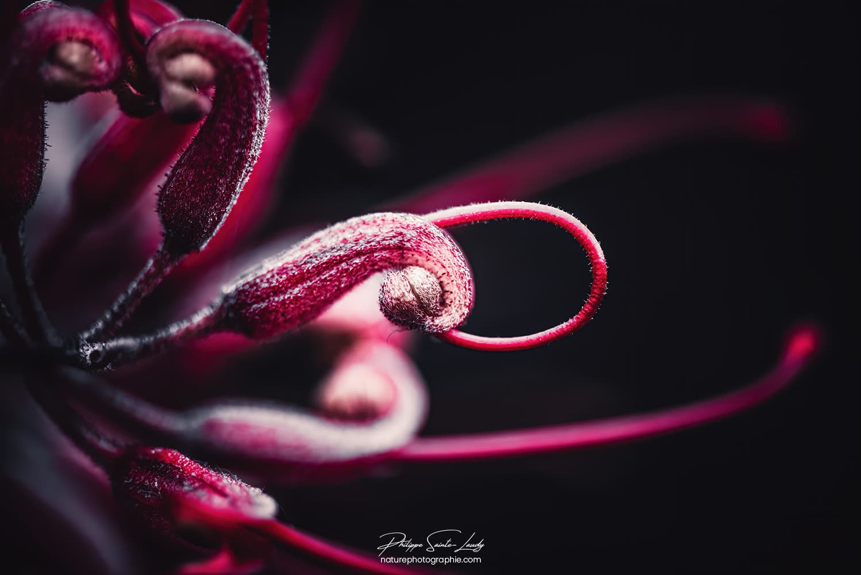 Photo de fleur - Grevillea Robyn Gordon