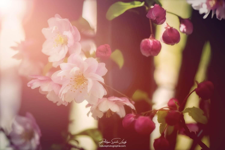 Douces fleurs