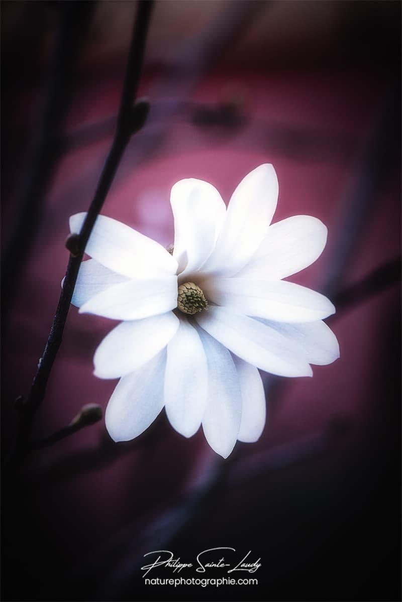 Douceur d'un magnolia