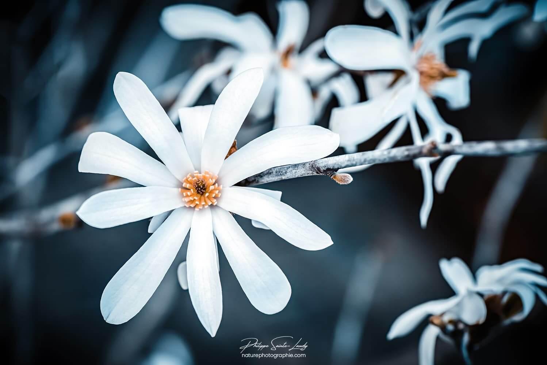 Branche de magnolias