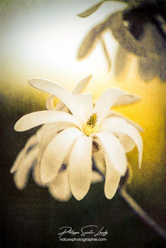 Magnolia dans la lumière du soleil