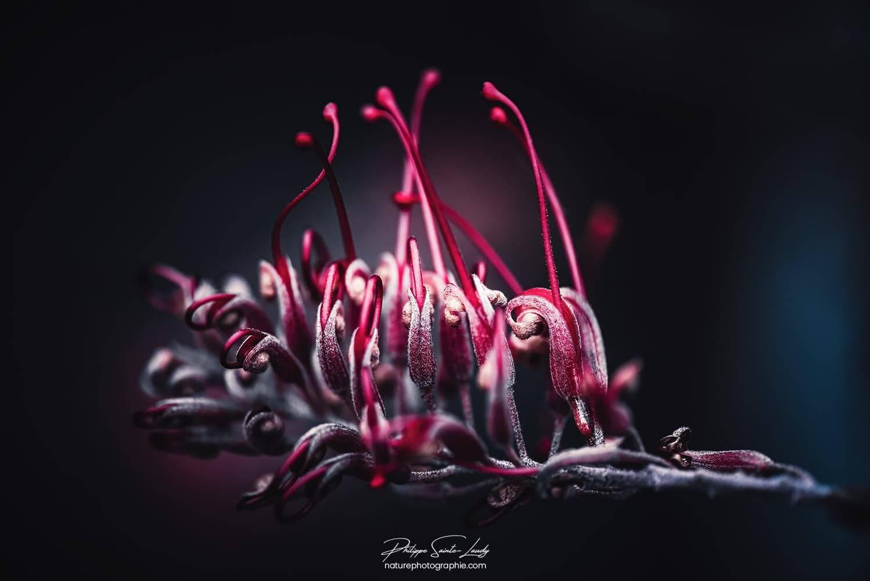 Grevilléa Robyn Gordon - Miniature florale