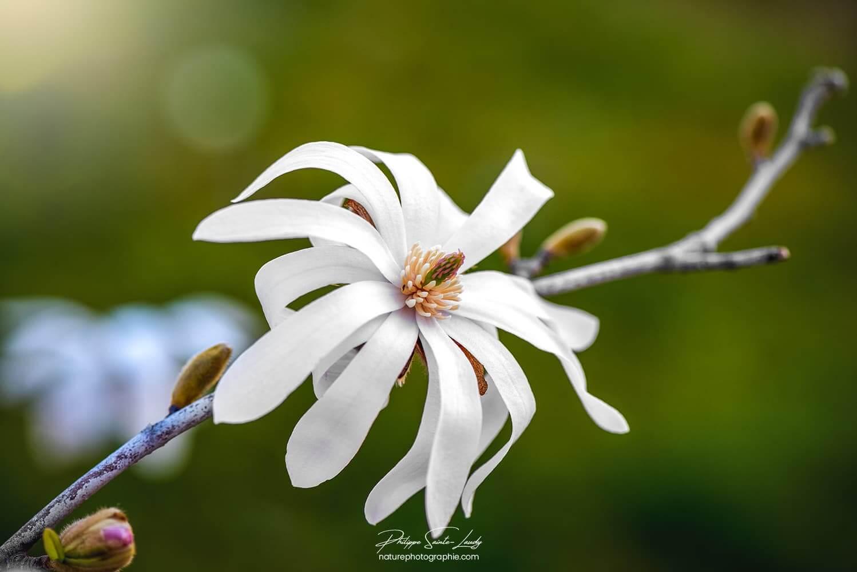 Photo d'un magnolia