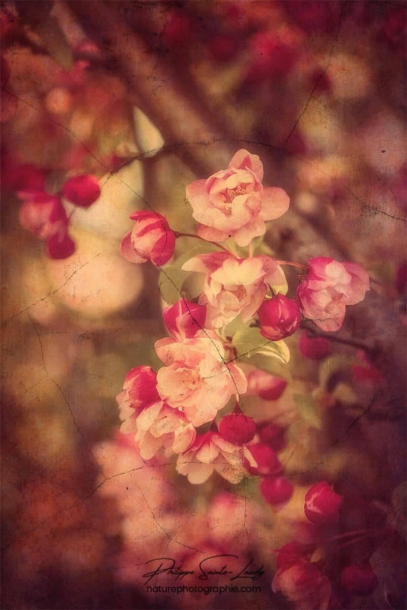 Jolies fleurs de pommier avec une texture photo
