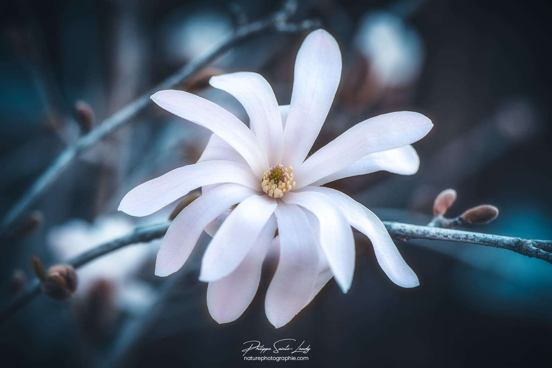 Magnolia blanc étoilé